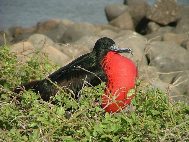 Frégate Galapagos copyright Sophs74