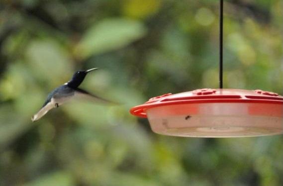 HummingbirdEcuadorRed