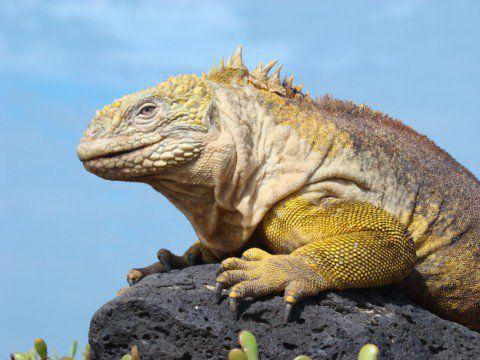 Iguana Guisada