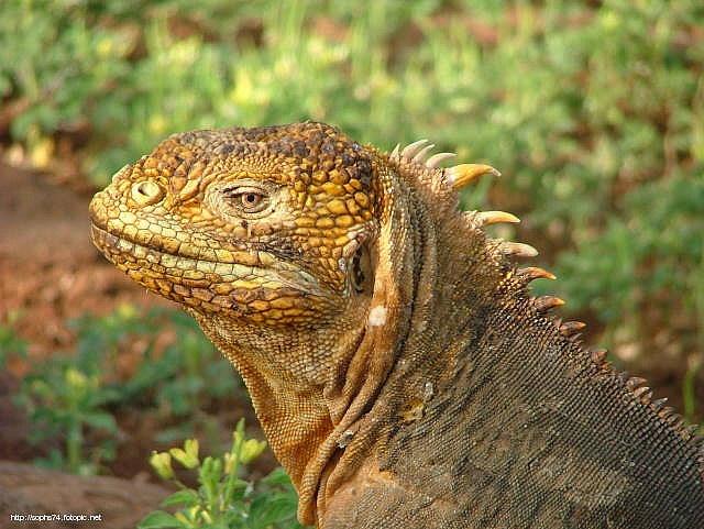 Iguane Galapagos copyright Sophs74