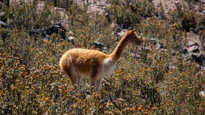 Une vigogne parmi les plantes de Chuquiragua au volcan Chimborazo.