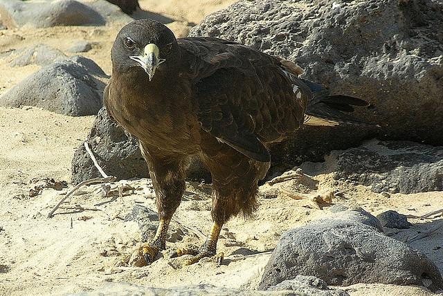 aigle des Galapagos copyright SaraYeomans