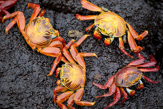 crabes des Galapagos copyright Ndecam
