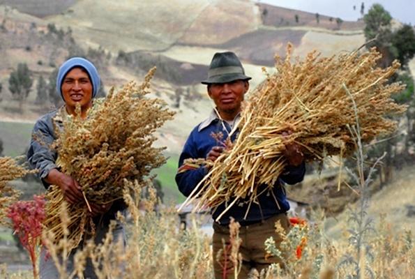 culture du quinoa en Equateur