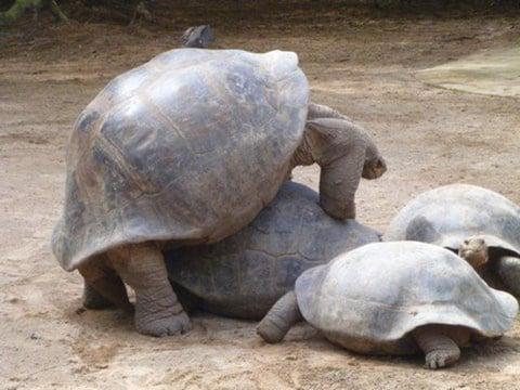 tortues Amérique du Sud