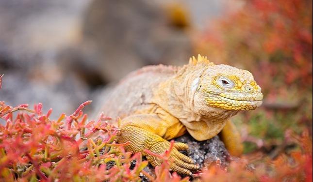 galapagos-iguane-terrestre