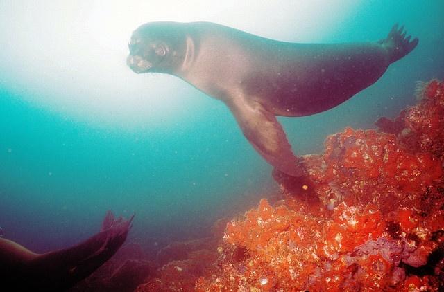lion de mer Galapagos copyright Derek Keats