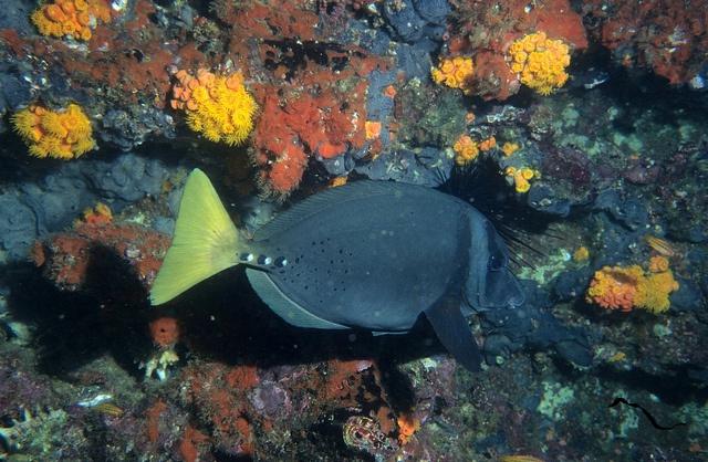 poisson Acanthuridae Galapagos Equateur copyright Derek Keats