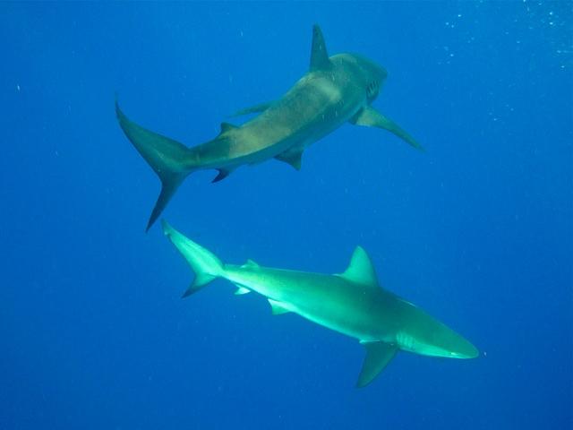 requins Galapagos