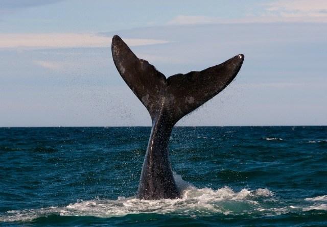 Que voir en Patagonie ? Baleine dans la Péninsule de Valdez