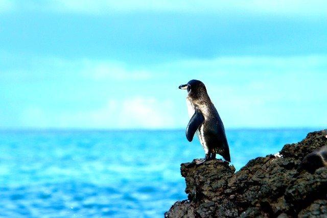 Manchot admirant l'horizon