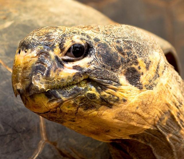 tortue Galapagos copyright Kool Cats Photography