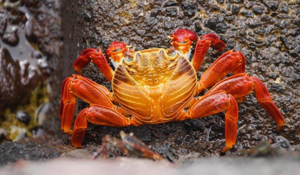 galapagos-crabe-rouge
