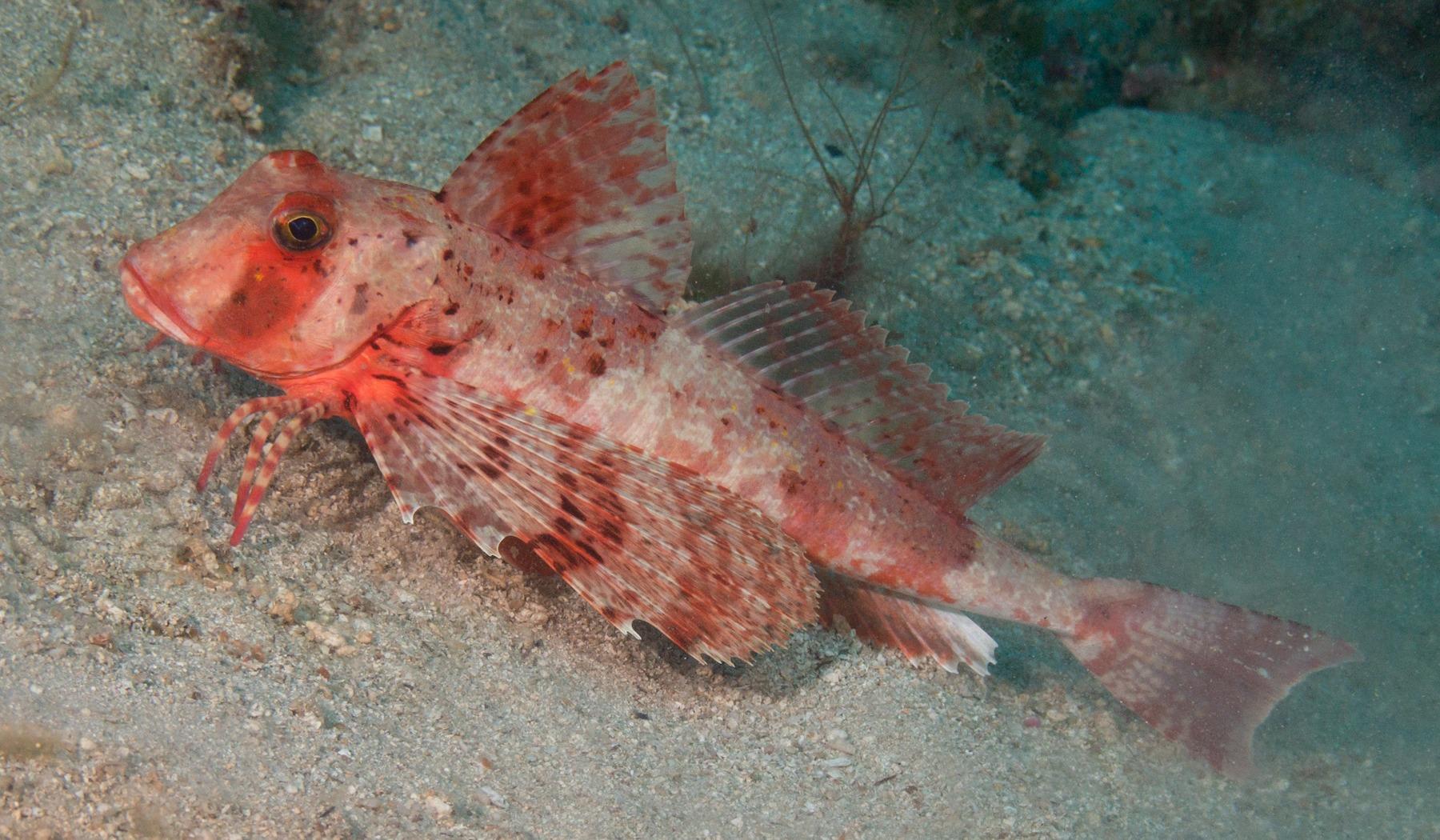poisson-triglidae-galapagos